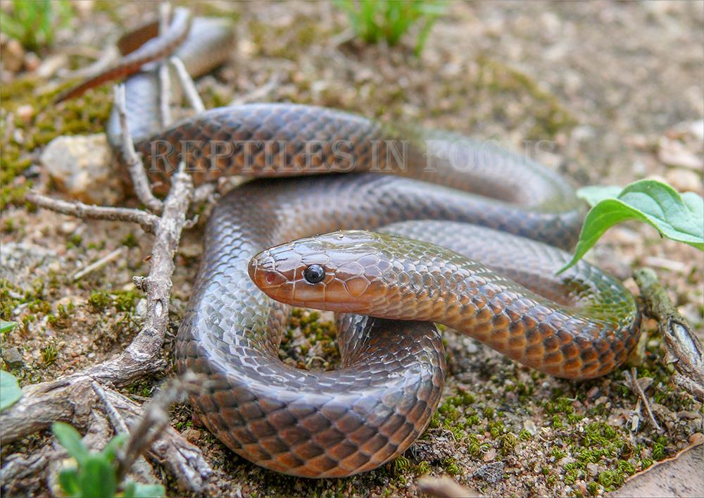 Carpentaria Snake