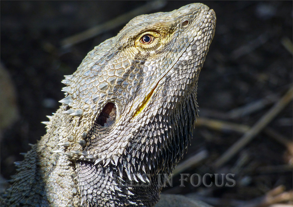 Eastern Bearded Dragon Head