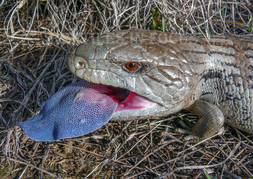 Eastern Blue Tongue