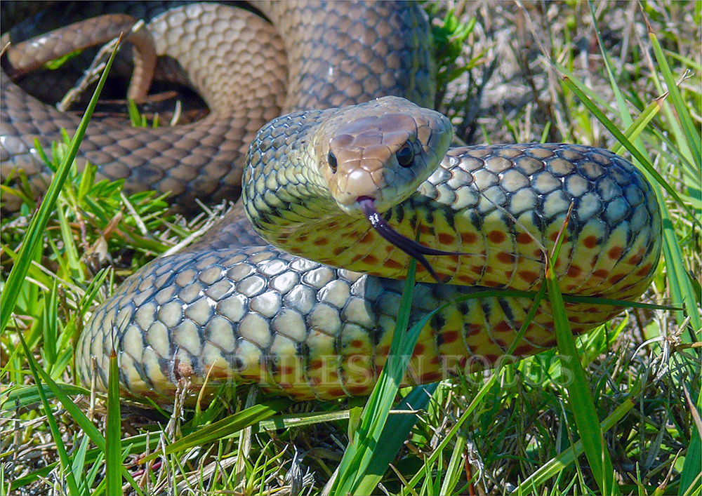 Eastern Brown Snake