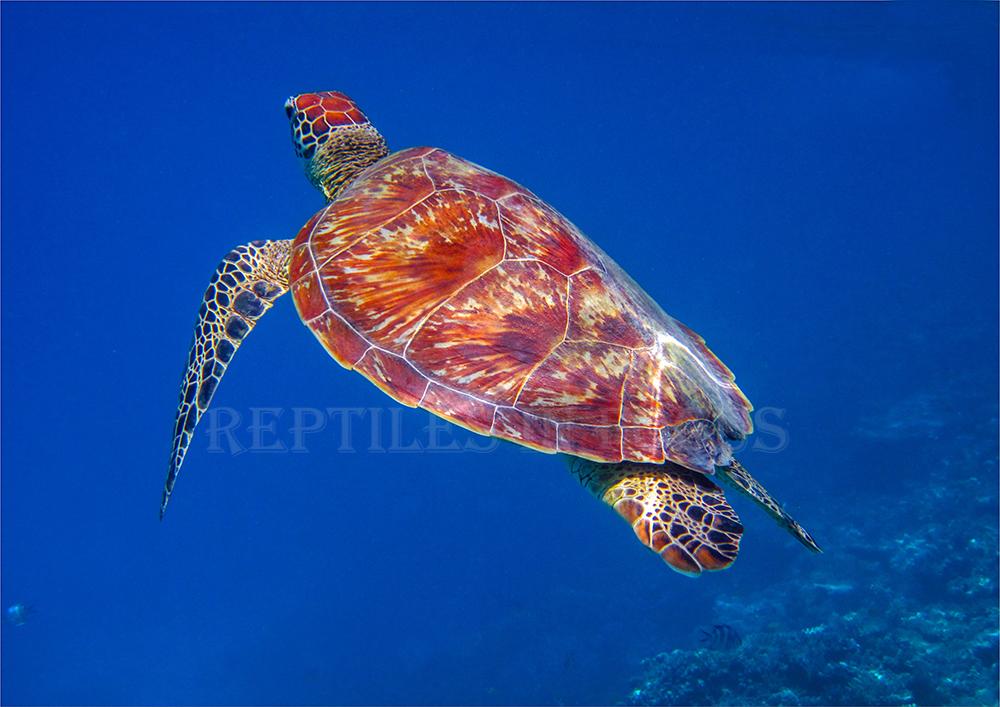 Green Turtle in open water