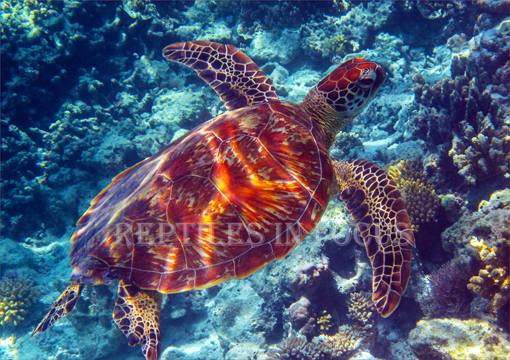 Green Turtle over reef